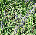 Grape hyacinth muscari armeniacum - saffier 1.jpg