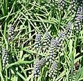 Grape hyacinth muscari armeniacum - saffier 1.jpg