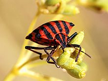 Graphosoma italicum August 2007-4.jpg