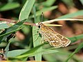 Grass dart egg laying from Savandurga IMG 9607.jpg