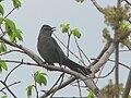 Gray Catbird, adult.jpg