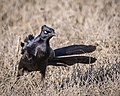 Great-tailed Grackle (34311636016).jpg