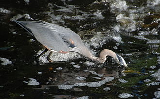 Watertown Dam - Image: Great Blue Heron catching Herring