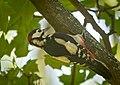 Great spotted woodpecker (50436213186).jpg