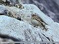 Greater Short-toed Lark (Calandrella brachydactyla) (29890433463).jpg