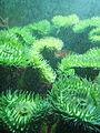 Green-anemone.jpg
