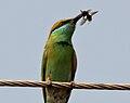 Green Bee-eater (Merops orientalis) in Hyderabad W2 IMG 5671.jpg