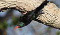 Green Wood Hoopoe, Phoeniculus purpureus, at Mapungubwe National Park, Limpopo, South Africa (30107857321).jpg