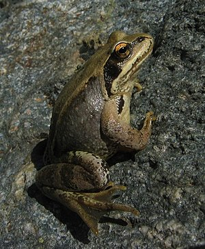 A Agile Frog (Rana dalmatina) landing in a stone