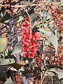 Grevillea wickhamii flowers.jpg