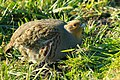 Grey Partridge Perdix perdix, Netherlands 1.jpg