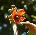 Greyia sutherlandii, blom, Manie van der Schijff BT, b.jpg