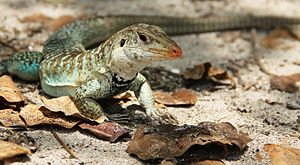 Griswold's ameiva - Image: Griswold's Ameiva