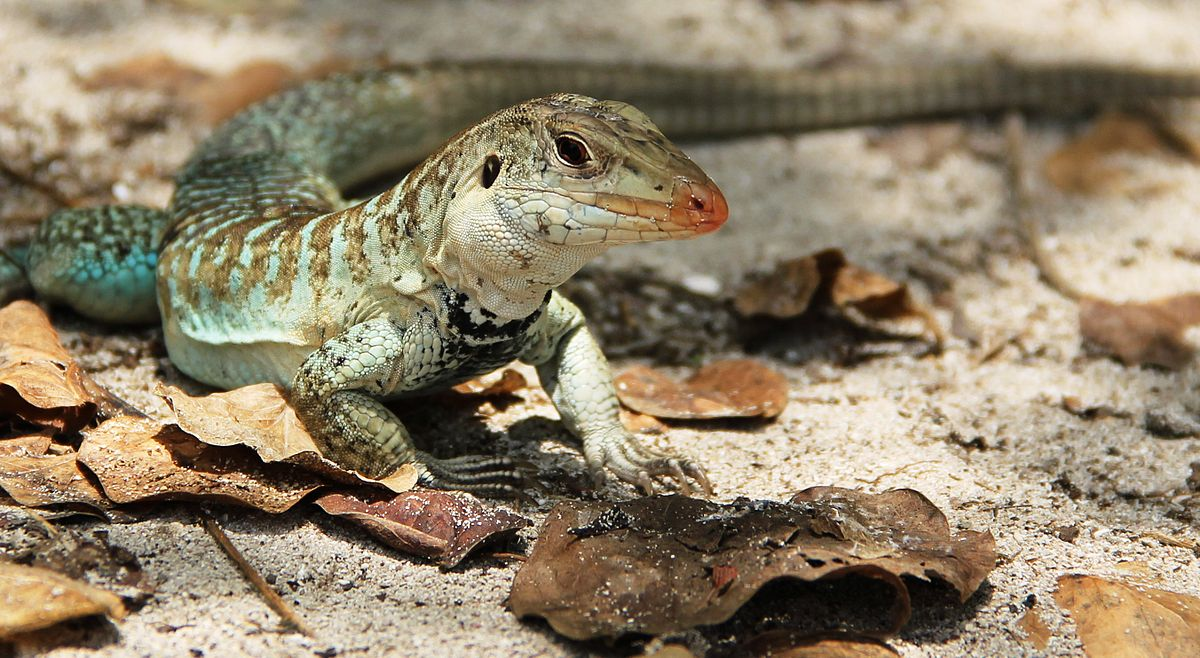 Griswold's ameiva Wikipedia