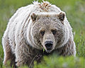 Grizzly Bear (6968121996).jpg