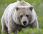 Grizzly Bear (6968121996).jpg