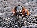 Gryllotalpa gryllotalpa on the ground 2.jpg