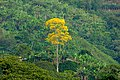 Guaayacán amarillo (Tabebuya chrysantha) - Flickr - Alejandro Bayer.jpg