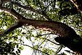 Gumbo Limbo NPSPhoto, R. Cammauf (3) (9101027467).jpg
