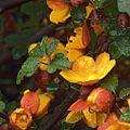 H20130404-7383—Fremontodendron californicum 'Margo'—RPBG (8630616910).jpg