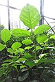 HK 上環 Sheung Wan 卜公花園 Blake Garden plants compound leaves October 2017 IX1 01 (3).jpg