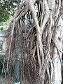 HK SW 上環 Sheung Wan卜公花園 Blake Garden 老榕樹 Chinese banyan tree 氣根 root n trunk February 2020 SS2 05.jpg