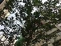 HK Sai Ying Pun 西環笫三街 Third Street tree 黃花風鈴木 Tabebuia Mar-2013.JPG