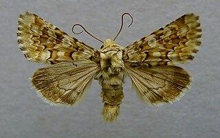 <i>Hadena irregularis</i> species of insect