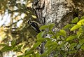 Hairy Woodpecker, Juneau, Alaska 4458 (26370462413).jpg