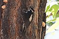 Hairy Woodpecker (male) South Fork Portal AZ 2016-06-18 08-08-04 (46891281355).jpg