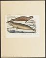 Halichoerus gryphus - 1700-1880 - Print - Iconographia Zoologica - Special Collections University of Amsterdam - UBA01 IZ21100151.tif
