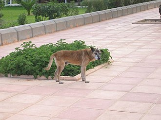 Pariah dog - Image: Hammamet Dog
