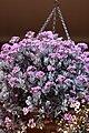 Hanging Violets (6226087344).jpg