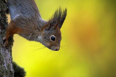orava toitumine