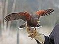 Harris Hawk RWD2.jpg