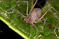 Harvestman from Ecuador (15362540741).jpg