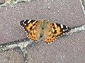 Hattem (Gelderland) - Distelvlinder (Vanessa cardui).jpg