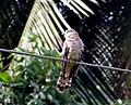 Hawk cuckooMSW2.jpg