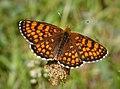 Heath Fritillary. Mellicta athalia. poss (43175250710).jpg