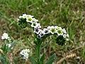 Heliotropium curassavicum (6016735342).jpg