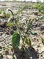 Heliotropium europaeum sl13.jpg
