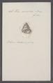 Helix conoidea - - Print - Iconographia Zoologica - Special Collections University of Amsterdam - UBAINV0274 089 01 0045.tif