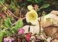 Helleborus niger Christmas Rose ხარისძირა.jpg