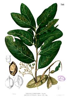 <i>Heritiera littoralis</i> species of plant