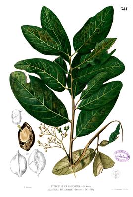 Heritiera littoralis, Illustration von Blanco.