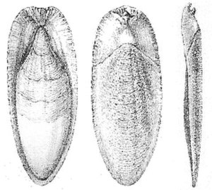 Cuttlebone - Cuttlebone of Sepia officinalis (left to right: ventral, dorsal, and lateral views)