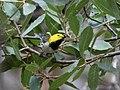 Hermit Warbler (male) Huachuca Canyon Sierra Vista AZ 2018-08-26 11-02-12 (48038496982).jpg