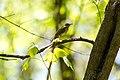 Hermit thrush (41527736951).jpg