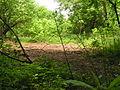 Hesperis matronalis seed pods 001.JPG