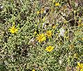 Heterotheca villosa var scabra 4.jpg